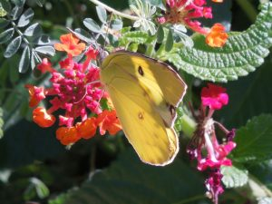 Yellow Butterfly on Lantana