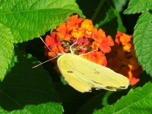 Yellow butterfly drinking