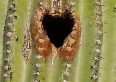 The Heart of a Saguaro