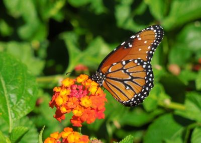 Queen Butterfly on a Lantana