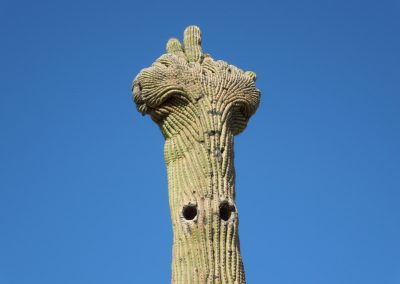 Saguaro with a Turban