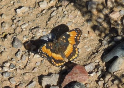 Butterfly in the Dirt